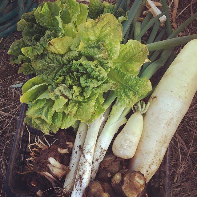 年内最後の畑。ヤツガシラ、サンチュ、ネギ、辛味大根などなど寒いけどそれなりに収穫できてます〜。人参は三つ又になっているジャンク品#家庭菜園 #菜園 #貸し農園 #サイエナー #わたしの野菜生活 #野菜 #ヤツガシラ #ブロッコリー #ダイコン #ネギ - 畑での一コマ