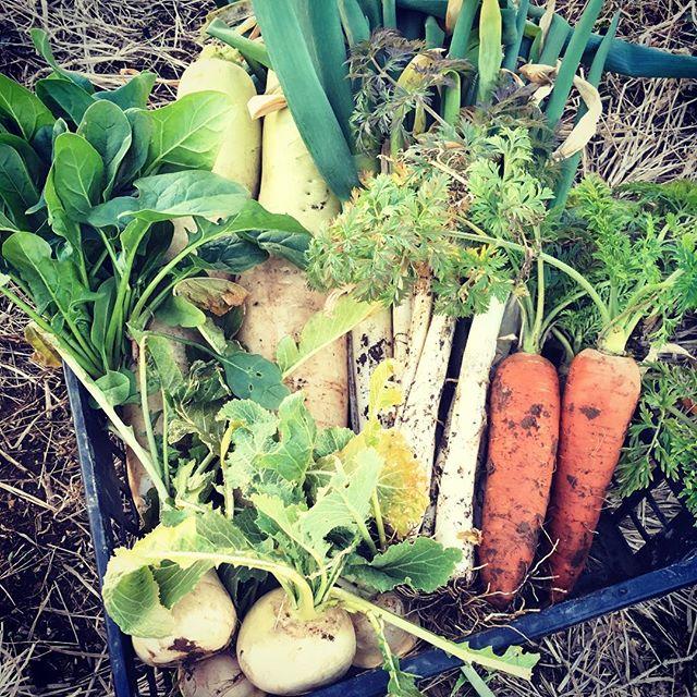 久しぶりの畑。ネギ、大根、小カブ、正月に間に合わなかったホウレンソウ。。。久しぶりに真っ当なニンジンが収穫できて嬉しいこと限りなし#家庭菜園 #菜園 #貸し農園 #サイエナー #わたしの野菜生活 #野菜 #ネギ #ダイコン #小カブ #ホウレンソウ #ニンジン - 畑での一コマ