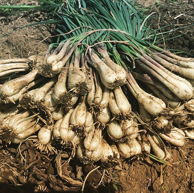 半年育ててきた島らっきょうまだ収穫には早いけれど畑の都合で撤収。。。塩らっきょうにして早く食べたい🤤#家庭菜園 #菜園 #貸し農園 #サイエナー #わたしの野菜生活 #野菜 #島らっきょう - 畑での一コマ