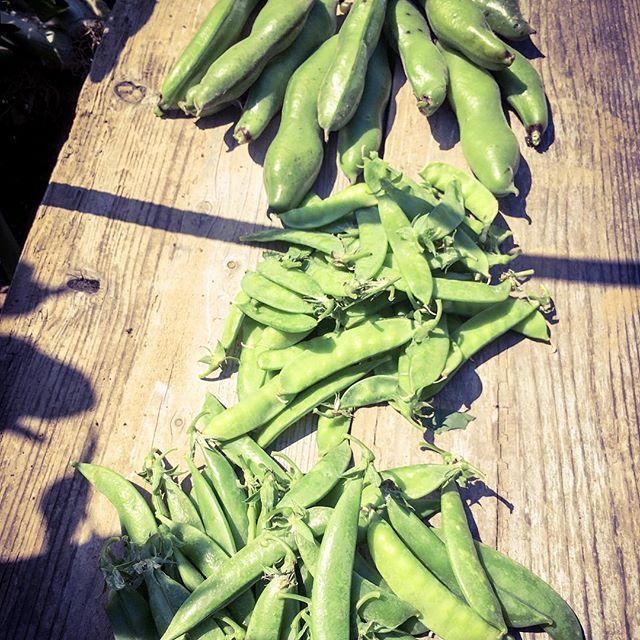 畑へ行くたびに採れるスナップエンドウとキヌサヤ加えてソラマメの収穫が始まった〜!とりあえず焼きソラマメ♫#家庭菜園 #菜園 #貸し農園 #サイエナー #わたしの野菜生活 #野菜 #ソラマメ #スナップエンドウ #キヌサヤ - 畑での一コマ