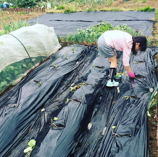 雨に合わせて生姜の植え付け。そしてスナップエンドウとキヌサヤとソラマメを撤収してさつまいもの植え付け子供たちとの収穫が楽しみ〜。 そして玉ねぎを初収穫。新タマはサラダでいただきます🥗#家庭菜園 #菜園 #貸し農園 #サイエナー #わたしの野菜生活 #野菜 #ソラマメ #スナップエンドウ #キヌサヤ #さつまいもの植え付け #ショウガ - 畑での一コマ