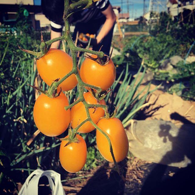 朝から娘とミニトマトを収穫。採れた量は圧力鍋一杯分*(^o^)/* #家庭菜園 #菜園 #貸し農園 #サイエナー #わたしの野菜生活 #野菜 #ミニトマト - 畑での一コマ