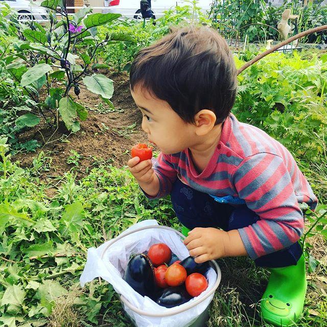 野菜嫌いの息子もミニトマトだけは食べる。採っては食べて、採っては食べて。。。買ったらいくらになるのか#家庭菜園 #菜園 #貸し農園 #サイエナー #わたしの野菜生活 #野菜 #ナス #ミニトマト - 畑での一コマ