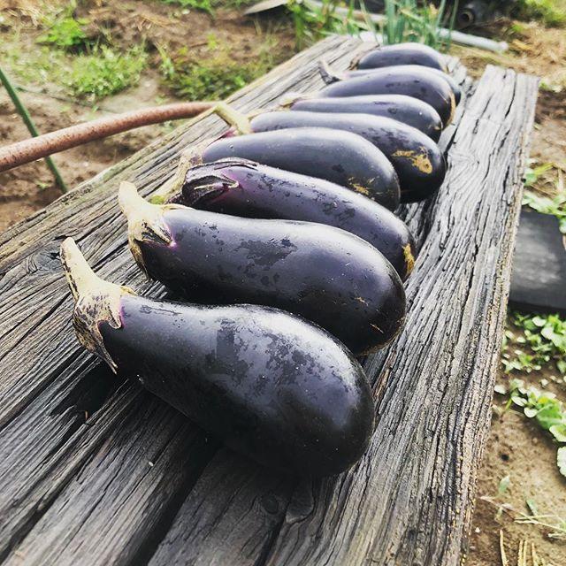 朝からナスを収穫。もう秋ナスですね#家庭菜園 #菜園 #貸し農園 #サイエナー #わたしの野菜生活 #野菜 #ナス #秋ナス - 畑での一コマ