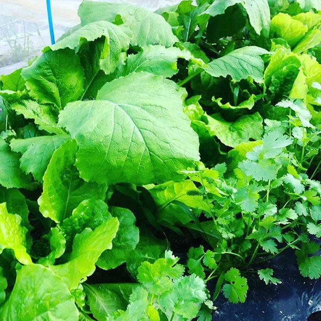 奥からカブ、サンチュ、パクチー。その横には写っていないけれどほうれん草。賑やかになってきた♫#家庭菜園 #菜園 #貸し農園 #サイエナー #わたしの野菜生活 #野菜 #カブ #パクチー #サンチュ - 畑での一コマ