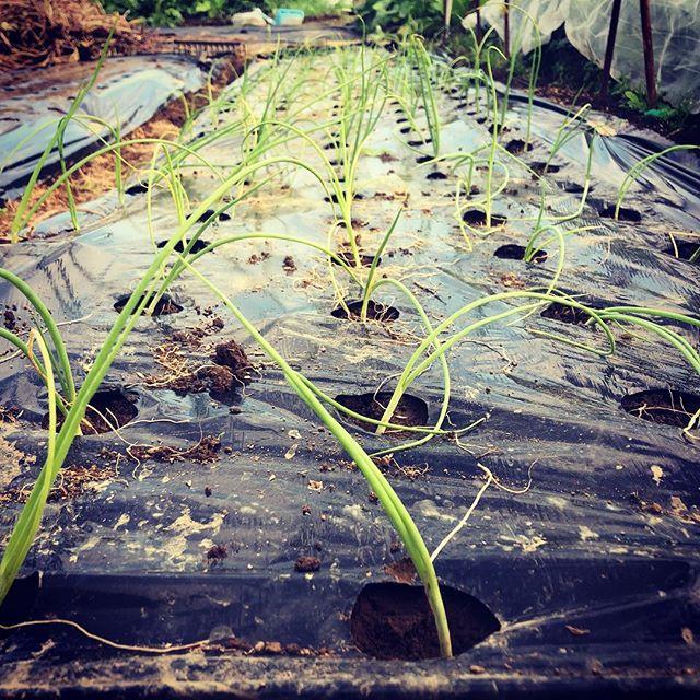 苗作りが成功した玉ねぎを植え付け。とりあえず120本!残り半分は午後に植え付けあぁ、腰が痛い。#家庭菜園 #菜園 #貸し農園 #サイエナー #わたしの野菜生活 #野菜 #玉ねぎ - 畑での一コマ