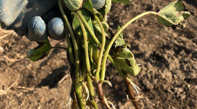 失敗しないサツマイモの植え付け手順