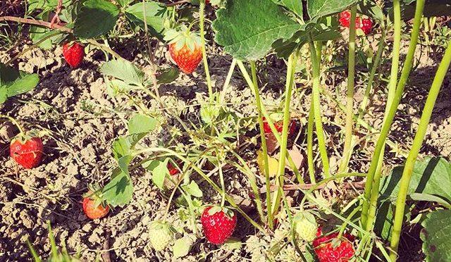 畑の隅に植えられているイチゴ – 畑での一コマ