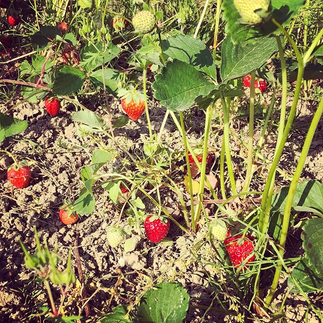 畑の隅に植えられているイチゴ。旬になりました!朝から幸せ〜#家庭菜園 #菜園 #貸し農園 #サイエナー #わたしの野菜生活 #イチゴ #新しい畑 - 畑での一コマ