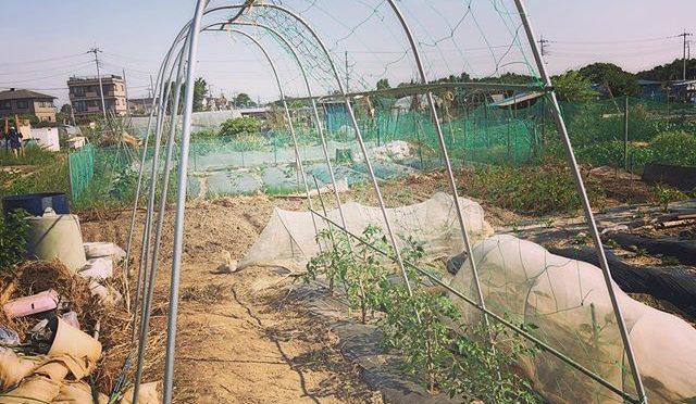 今年のトマトはソバージュ栽培 – 畑での一コマ