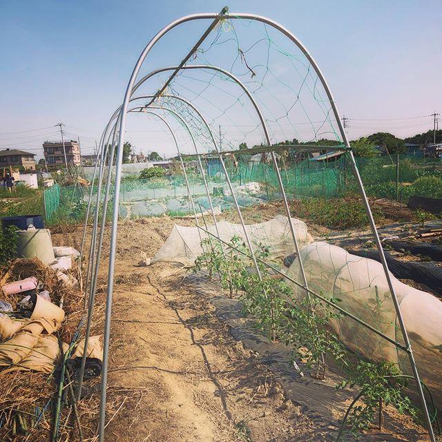今年のトマトはソバージュ栽培。ヤグラを組む必要がないので楽チン。下の方はしっかり芽欠きをしたのであとはほったらかしで!#家庭菜園 #菜園 #貸し農園 #サイエナー #わたしの野菜生活 #トマト #ソバージュ栽培 - 畑での一コマ