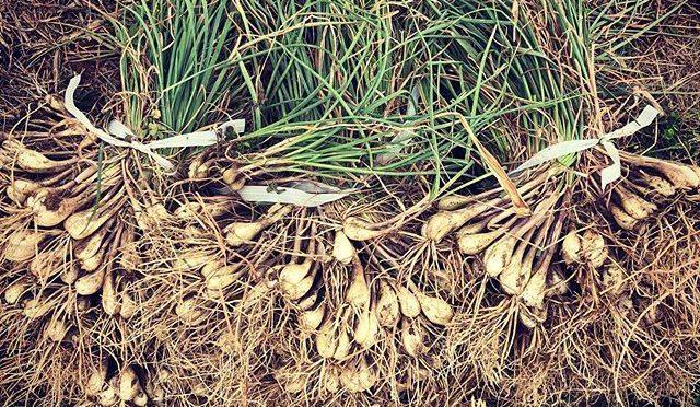 今年も島らっきょうを収穫〜 – 畑での一コマ