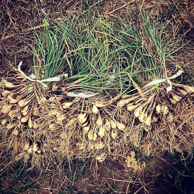 今年も島らっきょうを収穫〜。もう4年も育て続けているので、八潮らっきょうと言っても良いかも(笑)#家庭菜園 #菜園 #貸し農園 #サイエナー #わたしの野菜生活 #島らっきょう #埼玉産ですが - 畑での一コマ