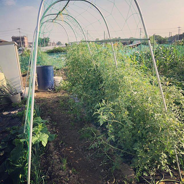 ソバージュ栽培をしているトマト。いい感じになってきた。反対側はキュウリとゴーヤ。トマトはの株間は1メートルは開けないと。来年の為の覚書。。。 #家庭菜園 #菜園 #貸し農園 #サイエナー #わたしの野菜生活 #トマト #ソバージュ栽培 - 畑での一コマ