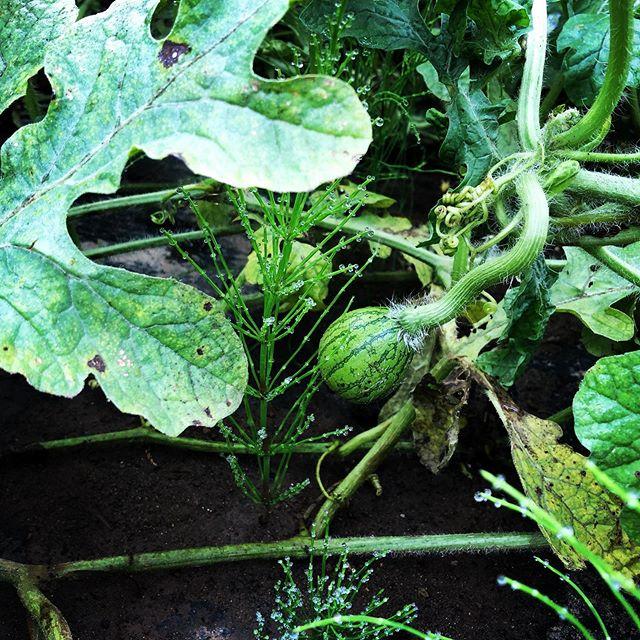 すごく小さなスイカを発見。あと1カ月ちょいで収穫♫#家庭菜園 #菜園 #貸し農園 #サイエナー #わたしの野菜生活 #スイカ #受粉成功 - 畑での一コマ