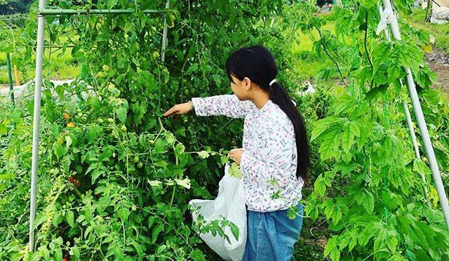 トマトを収穫♫計画通りにアーチ状になったけれど脇芽を取らなすぎて荒れ放題 – 畑での一コマ