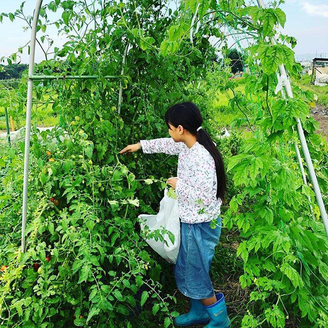 トマトを収穫♫計画通りにアーチ状になったけれど脇芽を取らなすぎて荒れ放題。となりの畝のナスに覆いかぶさってる。。。来年は適度な放任を心がけようっと。#家庭菜園 #菜園 #貸し農園 #サイエナー #わたしの野菜生活 #トマト #ソバージュ栽培 - 畑での一コマ