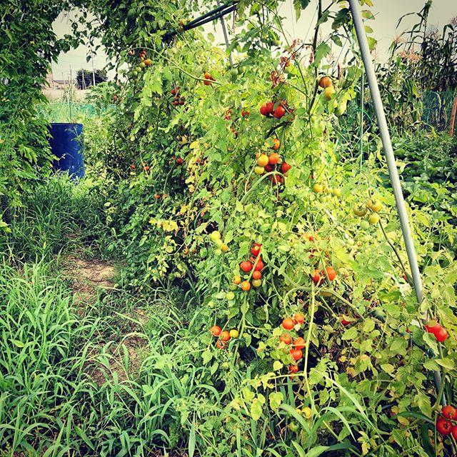 朝の水分補給はトマト#家庭菜園 #菜園 #貸し農園 #サイエナー #わたしの野菜生活 #トマト #ソバージュ栽培 - 畑での一コマ