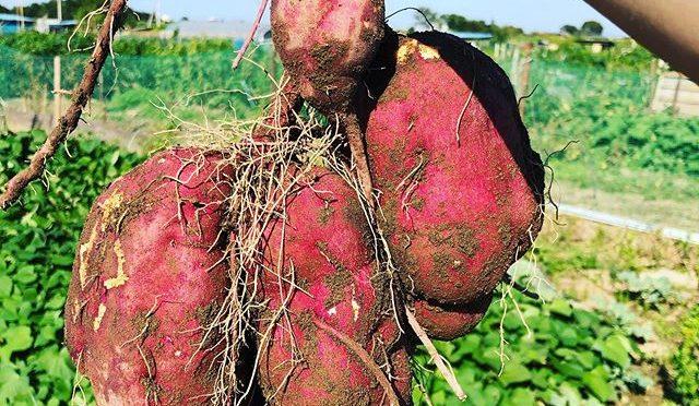 サツマイモを試し採り、 – 畑での一コマ