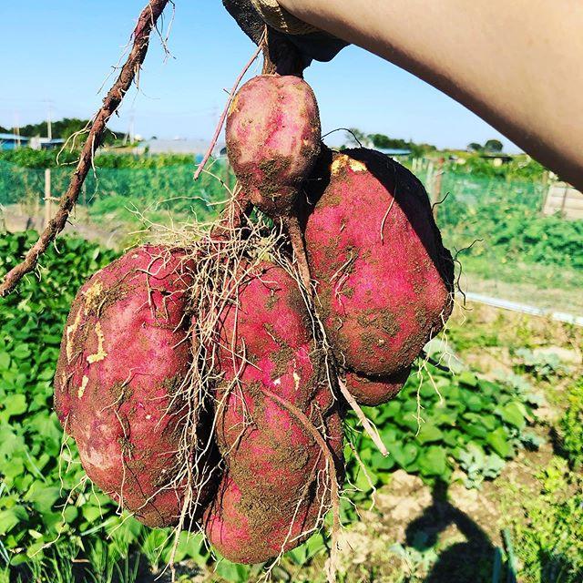 サツマイモを試し採り。大きくなっている株もちらほら\(^o^)/ #家庭菜園 #菜園 #貸し農園 #サイエナー #わたしの野菜生活 #サツマイモ - 畑での一コマ