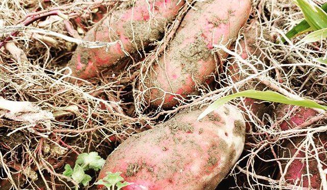 秋なのでお芋掘り – 畑での一コマ