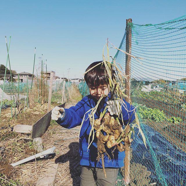 息子くんと畑へ。雨が多かったのでショウガはなかなか良いできだった(*^o^*)一方、雨が嫌いな芋は、、、意気消沈の芋掘り(涙)ホウレンソウが無事に発芽。この低気温のお陰で収穫は2月後半かな(汗)#家庭菜園 #菜園 #貸し農園 #サイエナー #わたしの野菜生活 #ショウガ #ジャガイモ #ホウレンソウ #パクチー - 畑での一コマ