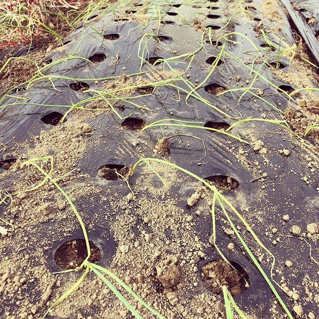 タマネギを150本植え付け。腰が痛くなり、、、残りは土曜日♪(´ε` )#家庭菜園 #菜園 #貸し農園 #サイエナー #わたしの野菜生活 #タマネギ - 畑での一コマ