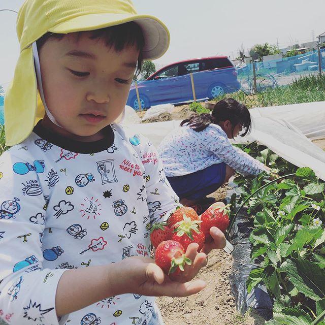 子供達と畑でイチゴ狩り。普通の畑では本来はこの時期が旬なのです〜。 #家庭菜園 #菜園 #貸し農園 #サイエナー #わたしの野菜生活 #いちご #イチゴ狩り - 畑での一コマ