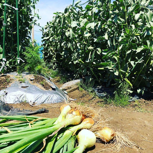 とう立ちしてしまった玉ねぎを収穫。奥のソラマメとスナップも収穫。豆類は一気にピークがきて、すぐに過ぎ去る。物悲しさを感じるよなぁ。#家庭菜園 #菜園 #貸し農園 #サイエナー #わたしの野菜生活 #玉ねぎ ソラマメ #スナップエンドウ - 畑での一コマ