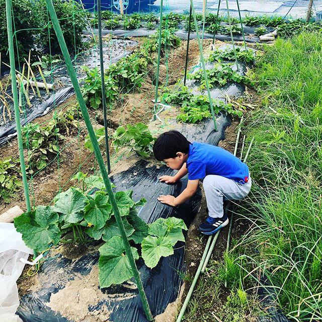 出勤前にキュウリの収穫と昨日に植え付けを行ったサツマイモの苗に水やり。野菜がすごく嫌いな息子も自分が植えたキュウリは食べた(笑)#家庭菜園 #菜園 #貸し農園 #サイエナー #わたしの野菜生活 #さつまいも #きゅうり #シャキット - 畑での一コマ