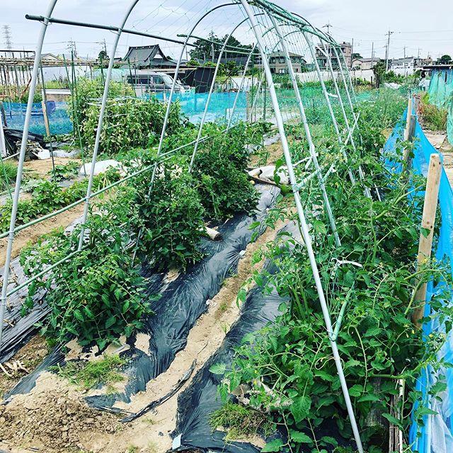 今年のトマトもソバージュ栽培。トマトの食べ放題が始まります♪#家庭菜園 #菜園 #貸し農園 #サイエナー #わたしの野菜生活 #ミディートマト #フルティカ #アイコ #イエローアイコ  #ソバージュ栽培 - 畑での一コマ