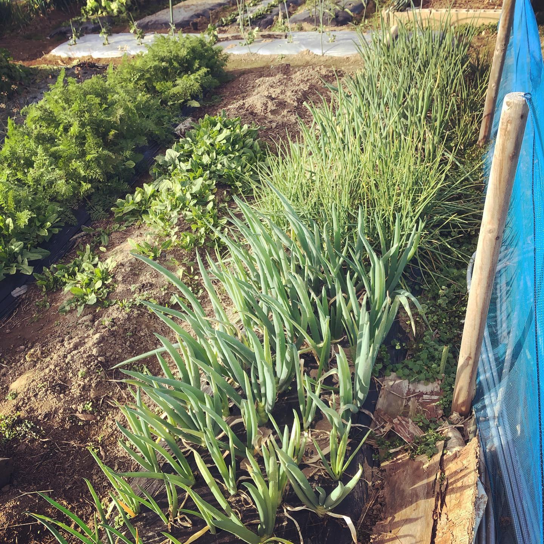 ネギのグラデーション。九条ネギ、なべちゃん葱、汐止晩生葱、四万十龍馬ネギ 、ワケギ。#家庭菜園 #菜園 #貸し農園 #サイエナー #わたしの野菜生活 #ネギ - 畑での一コマ