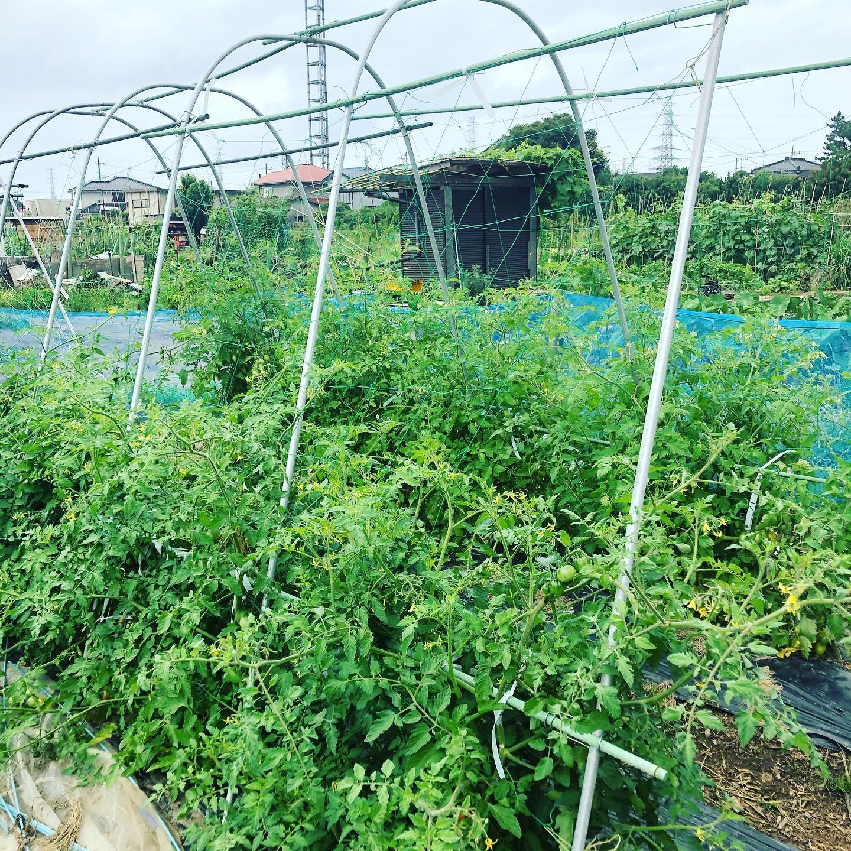 会社に行く前に畑へ。トマトに勢いがでてきた。畑に行くたびに収穫できるように。今年は熟れないうちに収穫してロスを少なくする方針。それでも甘い〜。#家庭菜園 #菜園 #貸し農園 #サイエナー #わたしの野菜生活 #トマト #ソバージュ栽培 - 畑での一コマ