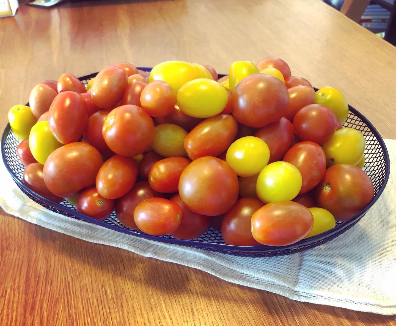 子どもたちよ、3時のおやつだよ笑#家庭菜園 #菜園 #貸し農園 #サイエナー #わたしの野菜生活 #トマト #ソバージュ栽培で育ててます - 畑での一コマ