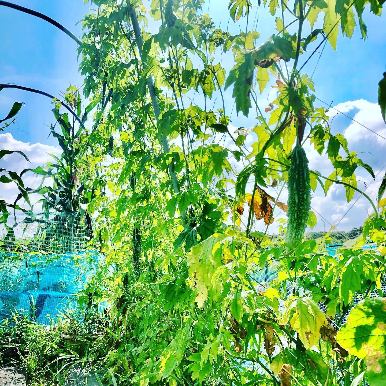 さらなるゴーヤ。この時期は良くできるなぁ。。。肥料もたっぷりあげたし、まだまだ収穫できそう!#家庭菜園 #菜園 #貸し農園 #サイエナー #わたしの野菜生活 #ゴーヤ - 畑での一コマ