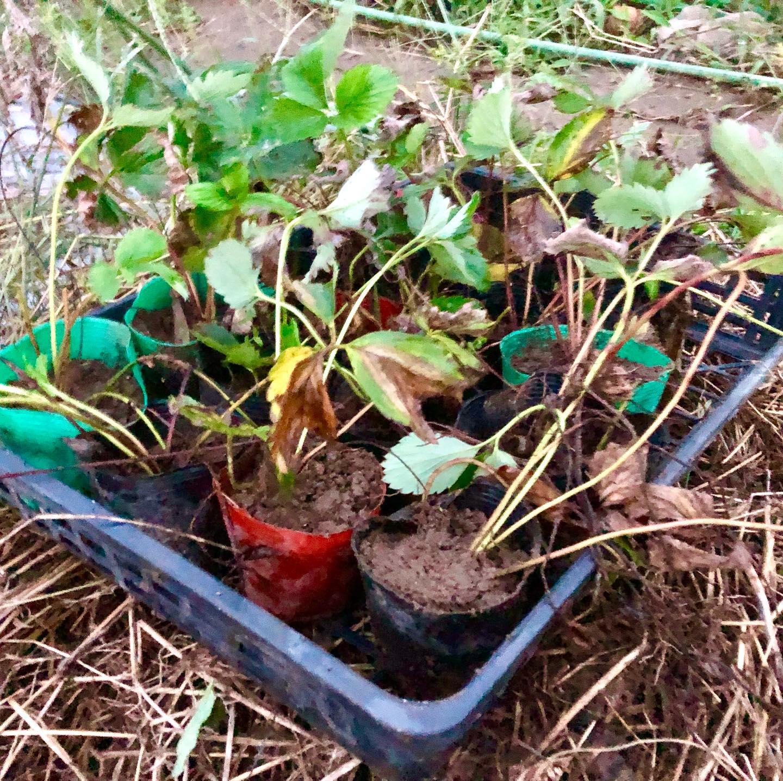 子株をポッドに。イチゴよ、来年の春も楽しみにしているよ〜!#家庭菜園 #菜園 #貸し農園 #サイエナー #わたしの野菜生活 #イチゴ - 畑での一コマ
