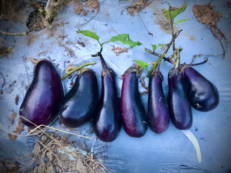 秋ナス。嫁には食べさせないんだから笑#家庭菜園 #菜園 #貸し農園 #サイエナー #わたしの野菜生活 #秋ナス - 畑での一コマ