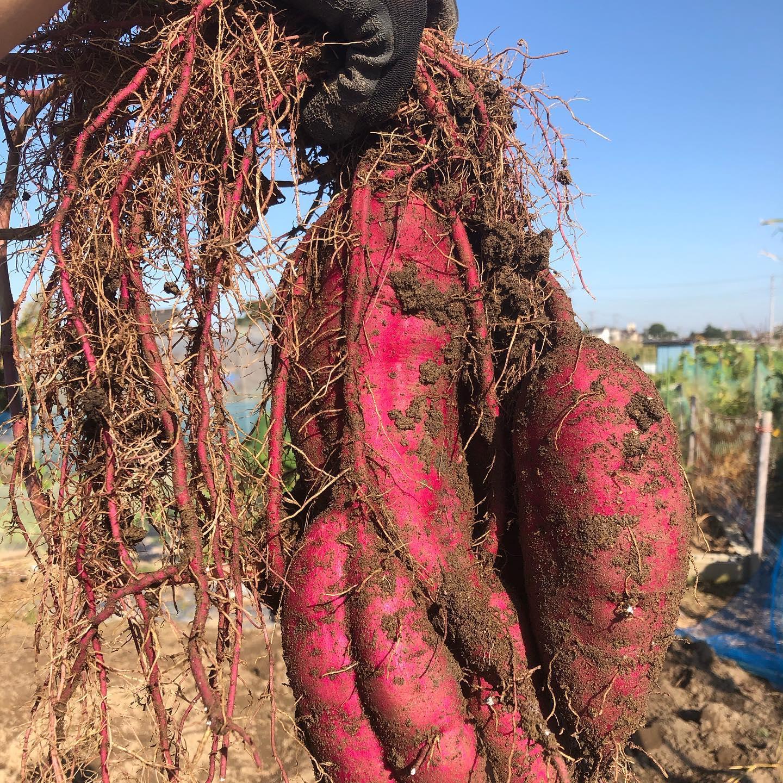 子どものいる会社の同僚を誘って芋掘り大会。今年はそれなりに良くできていた。跡地には島らっきょう、玉ねぎ、そら豆を植え付けて、今年の畑も終了の予定。#家庭菜園 #菜園 #貸し農園 #サイエナー #わたしの野菜生活 #サツマイモ - 畑での一コマ