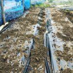 """<span class=""""title"""">畑の状態が良くなったので島らっきょうの植え付け – 畑での一コマ</span>"""